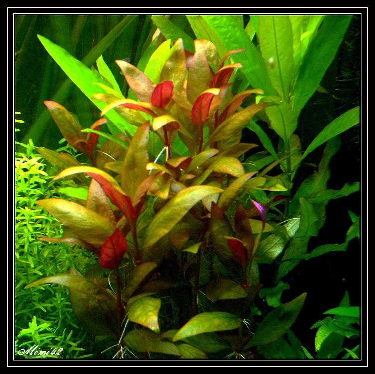 photos de plantes crevettes aquarium 42. Black Bedroom Furniture Sets. Home Design Ideas