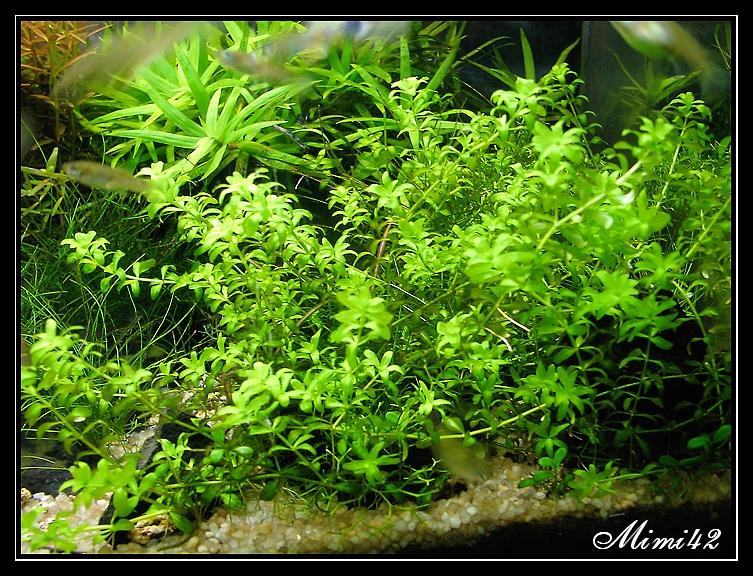 R sultats de recherche plante avant plan aquarium for Recherche plante