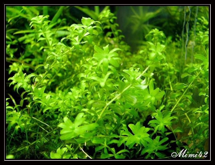 hemianthus micranthemoides rupture de stock 183 crevettes aquarium 42