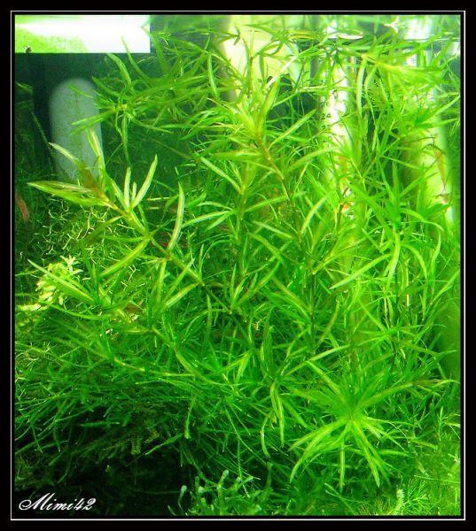 najas guadalupensis rupture de stock 183 crevettes aquarium 42