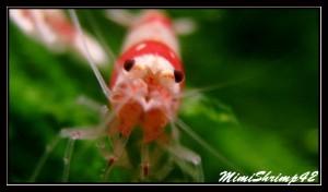 Le monde des crevettes